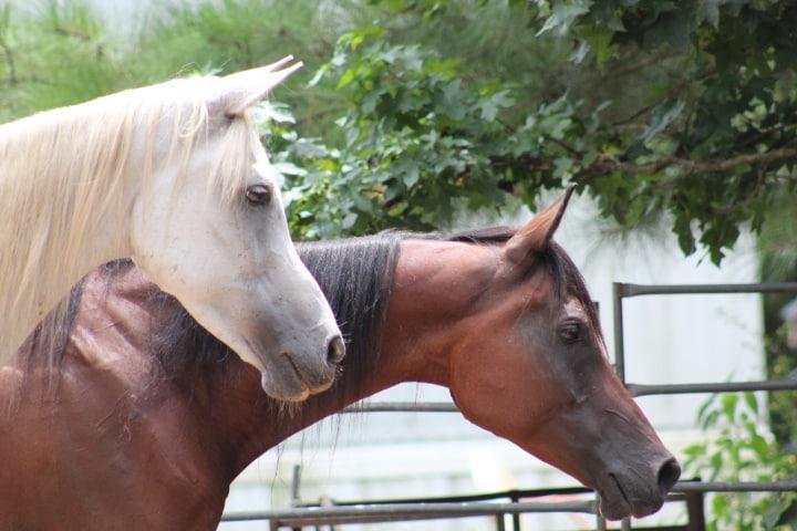 Arabian geldings in a paddock - Arabian Horse