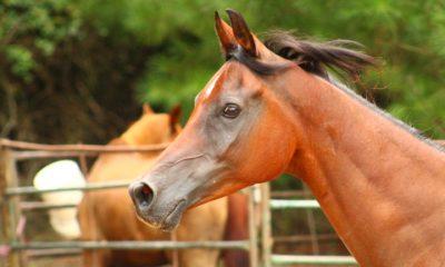 Bay Arabian gelding, Thee Barok - Arabian Horse