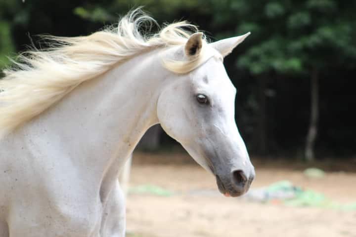 Fleabitten Gray gelding, Seven - Arabian Horse