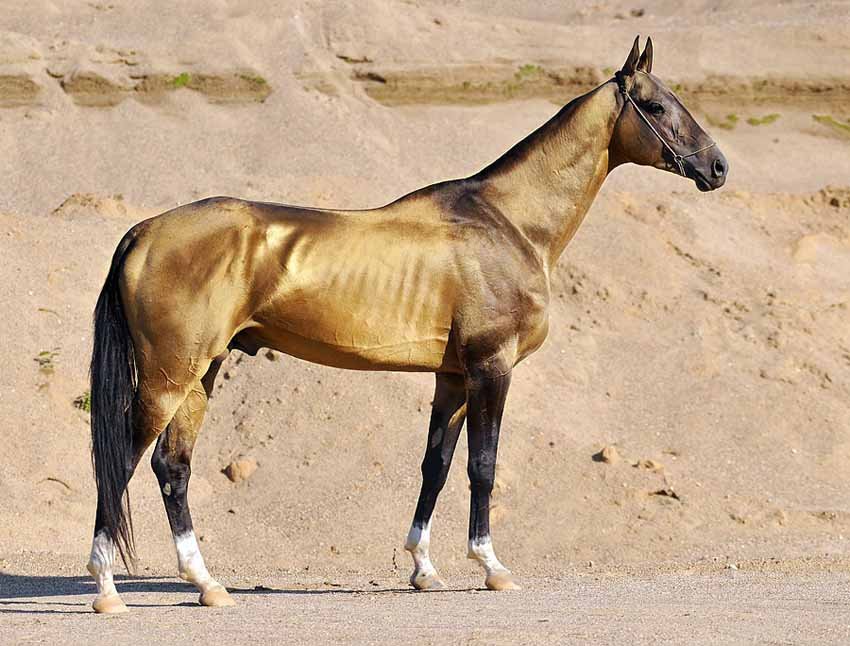 Akhal-Teke rare Horse Breed history, pictures and uses