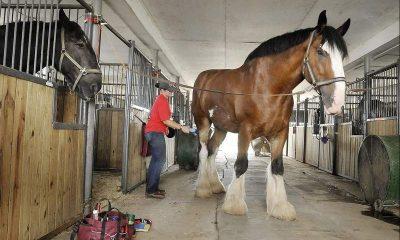 Draft Horse - Gentle Giants Draft Horses Rescue.
