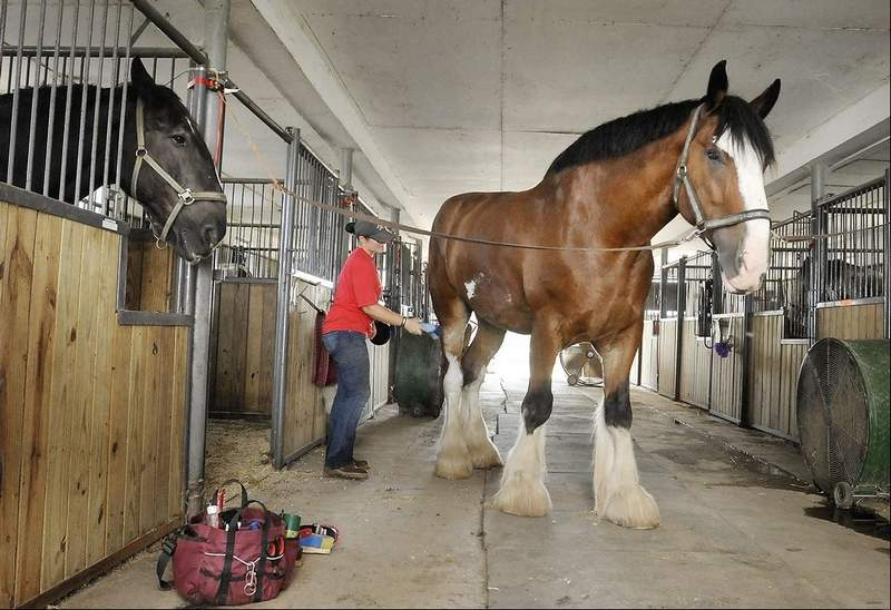 Draft Horse - Gentle Giants Clydesdale horse rescue center
