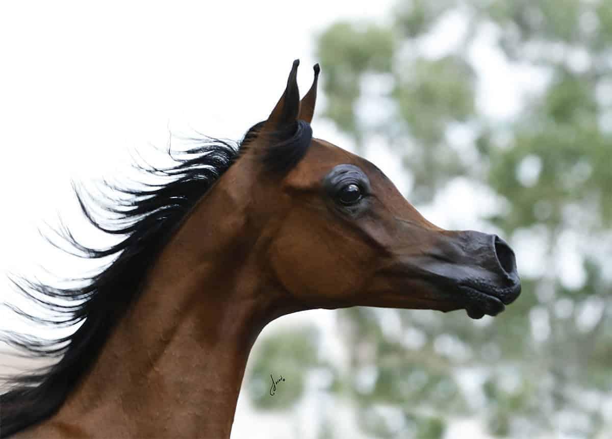 El Rey Magnum Selectively Breeding Arabian Horse