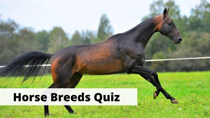 Horse Breeds quiz and trivia questions for equestrians