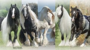 Gypsy Vanner horse breed