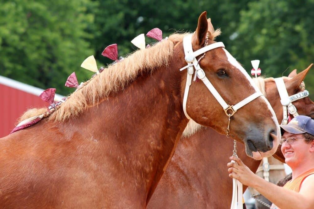 Belgian horse being showed