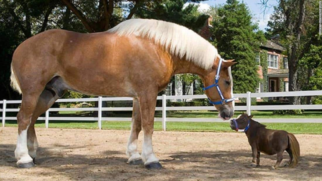7 Biggest Horses Horse Breeds In The World Horsey Hooves