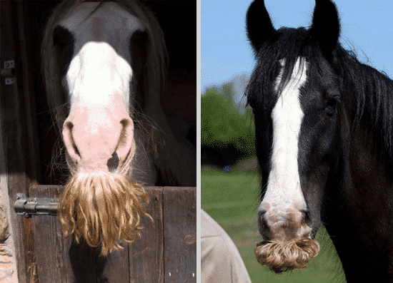 Two horses look at the camera