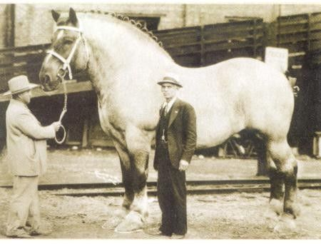 Sampson. The biggest horse in history