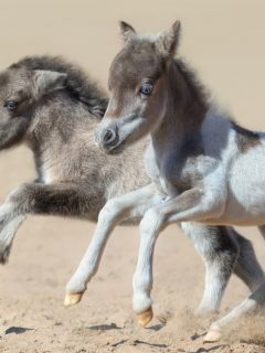 Smallest horse breeds in the world