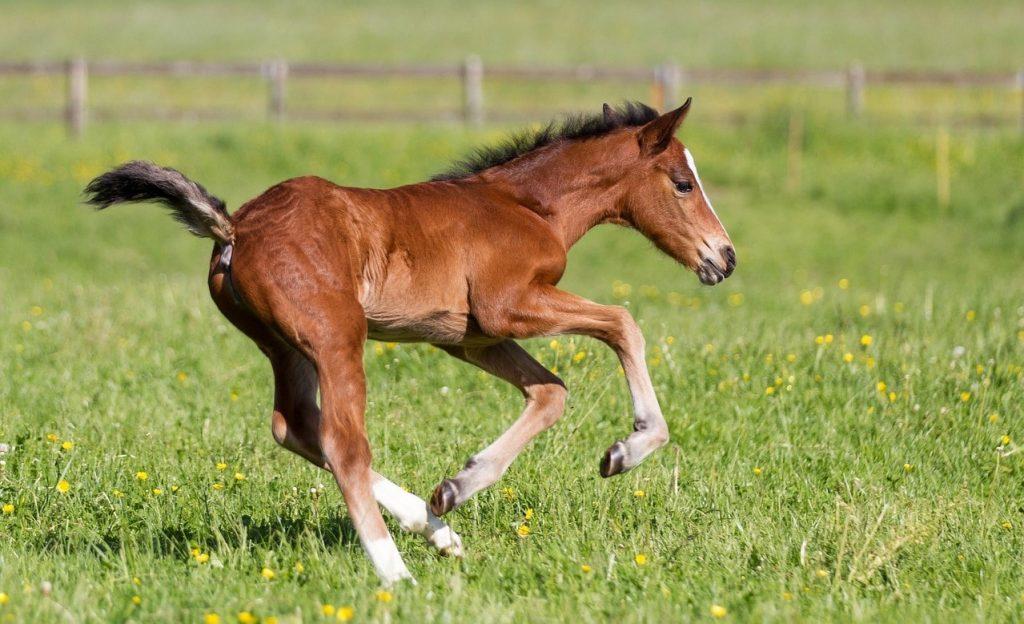 Horse's foal running in a field