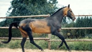 Akhal-Teke, a rare horse breed running in a menage