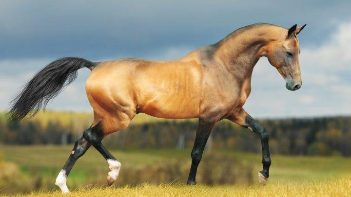 Rarest horse breeds in the world, Akhal-Teke