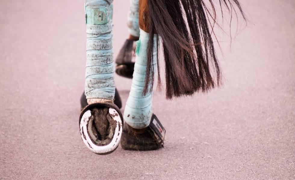 Dressage horse with horseshoe showing