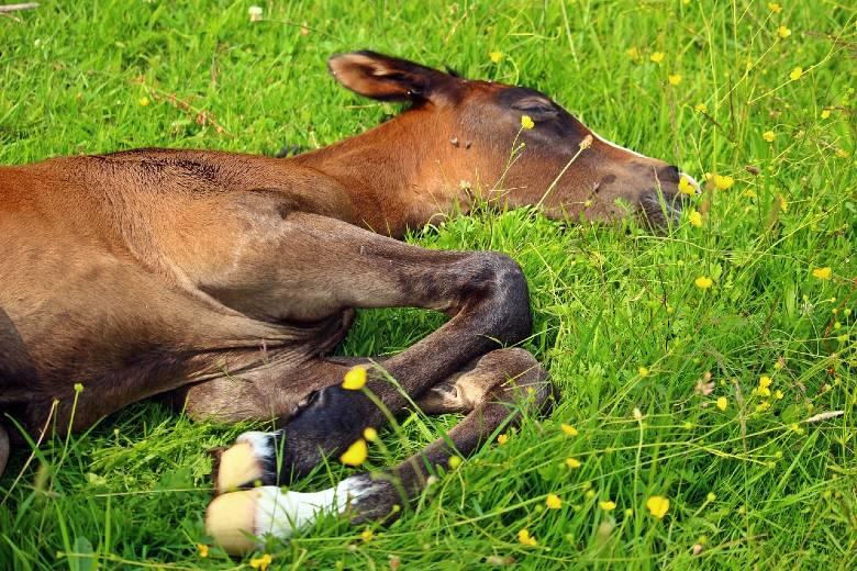 Foal sleeping on the ground