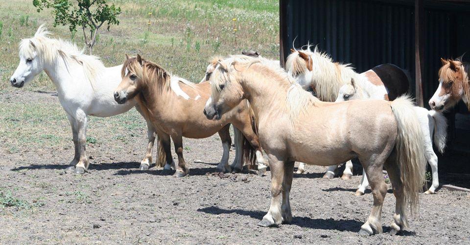 Cute miniature horses