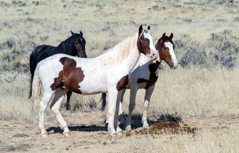 Wild Mustangs in South Texas