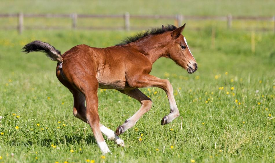 Foal running in the grass. Interesting foal facts