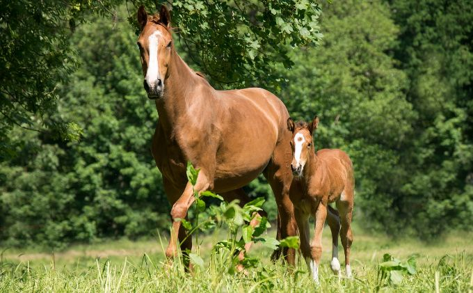 Dam mare and her foal