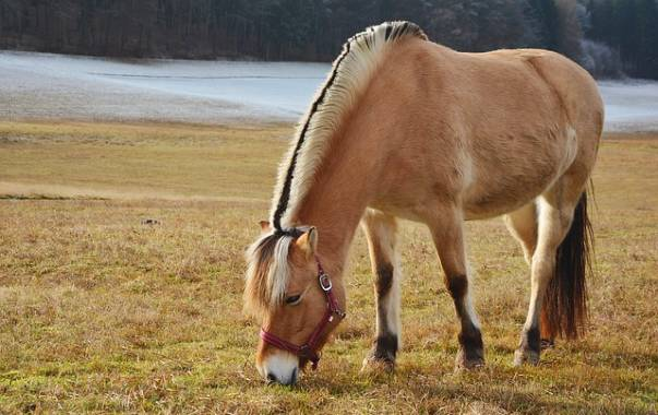 Fjord horse breed