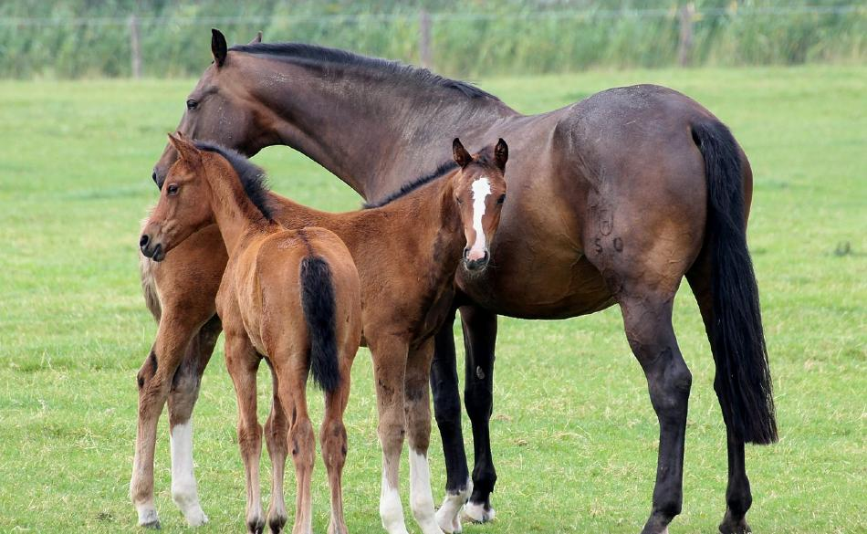 Sire and Dam horse family