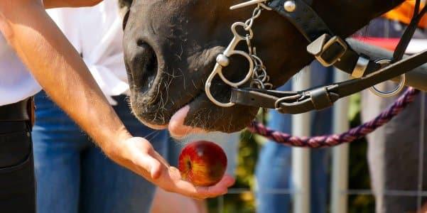 Feeding a horse an apple
