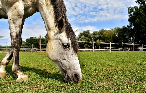 Horse grazing and eating