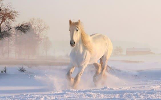 White horse running in snow