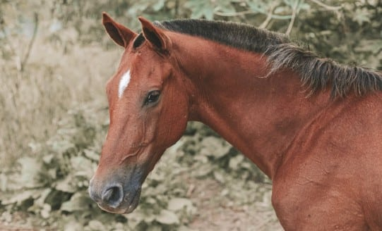 Close up of a brown horse equine