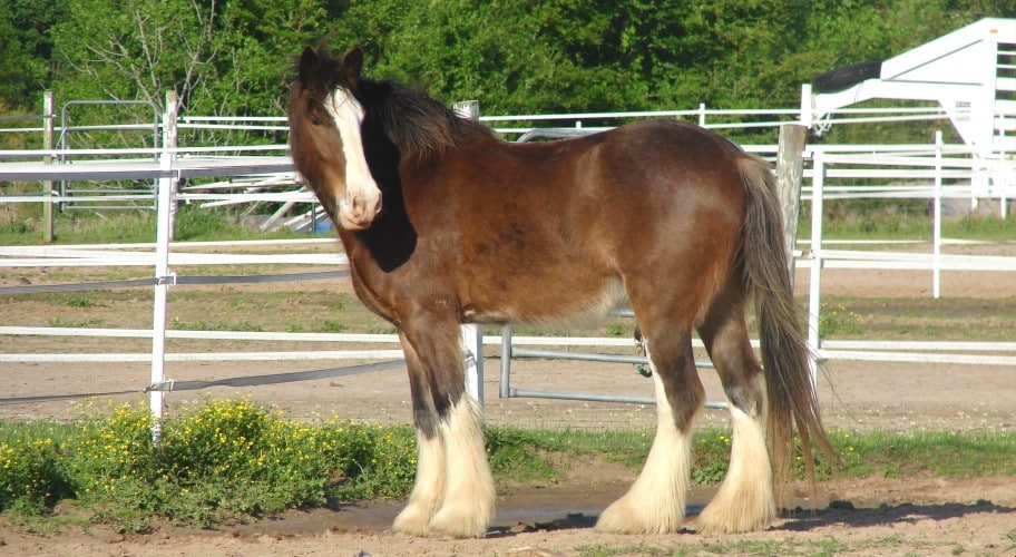 Clydesdale horse vs Shire