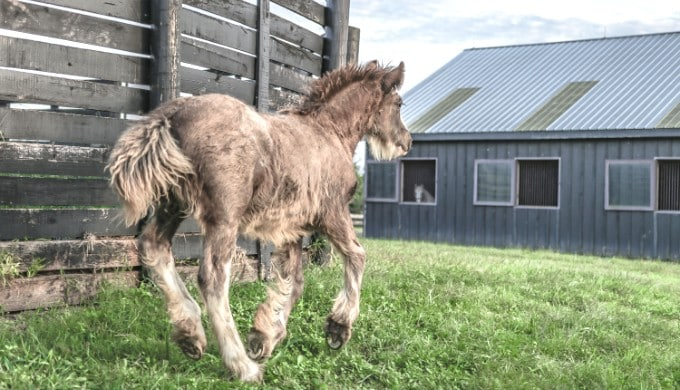 Foal running to his stable