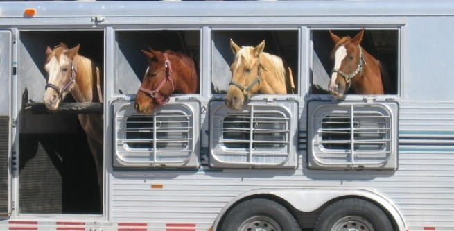 Four horses being transported in a horsebox