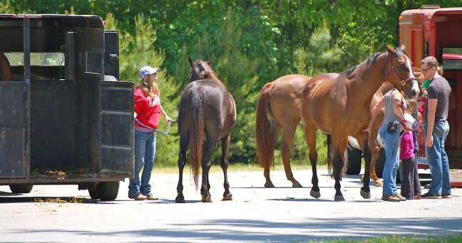 Horses getting ready for transport