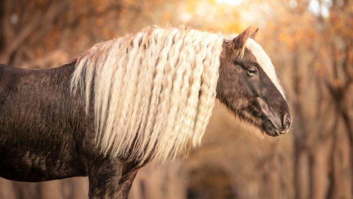 Long hair horse breed with feathered hooves