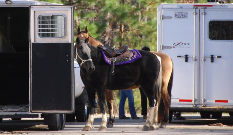 Two horses about to get on their horse trailer transport