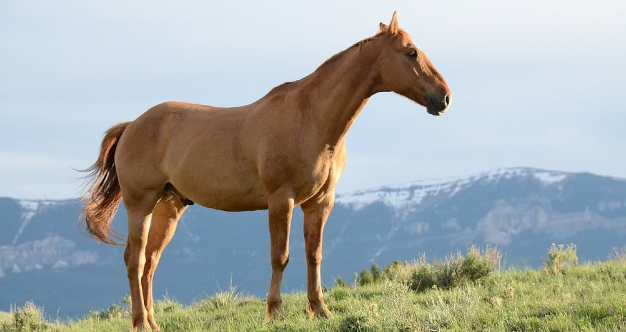 A chestnut male horse on a hill