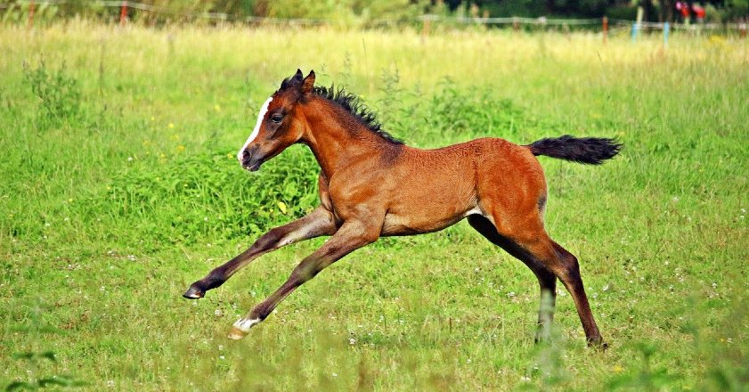 Baby horse galloping in a field