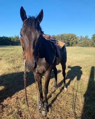 Jess Shipman's OTTB horse called Distribution