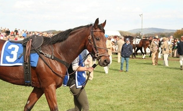 Thoroughbred racehorse tacked up being lead to the start of a race