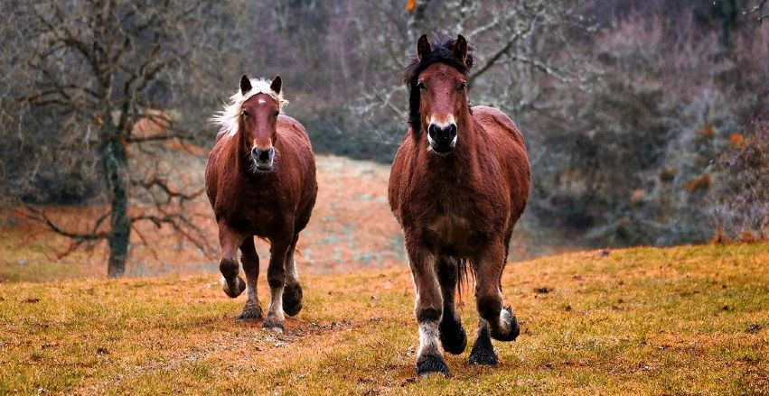Two gelding horses cantering towards the camera