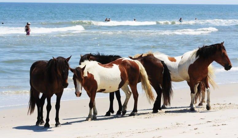 wild horses at the beach