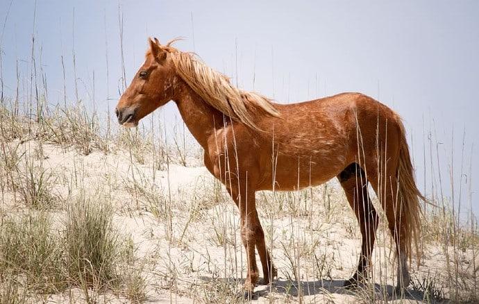wild spanish mustang animal wild horse