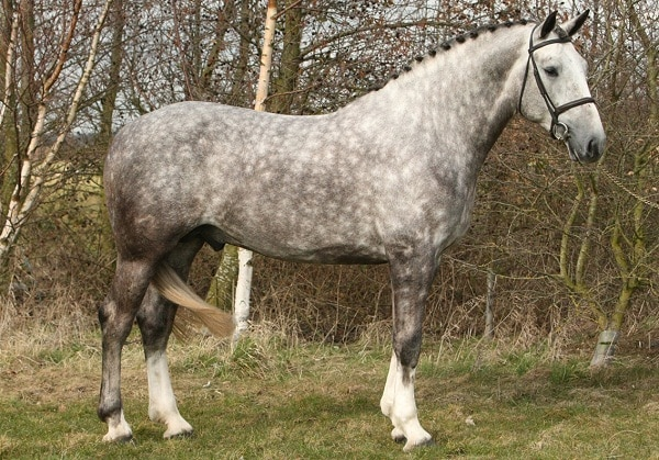 Irish Draught Horse with a braided mane