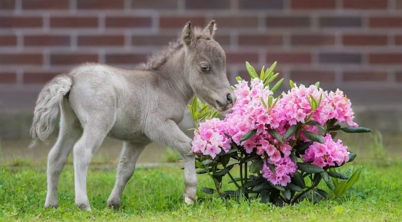 Miniature horse breed standing next to flowers