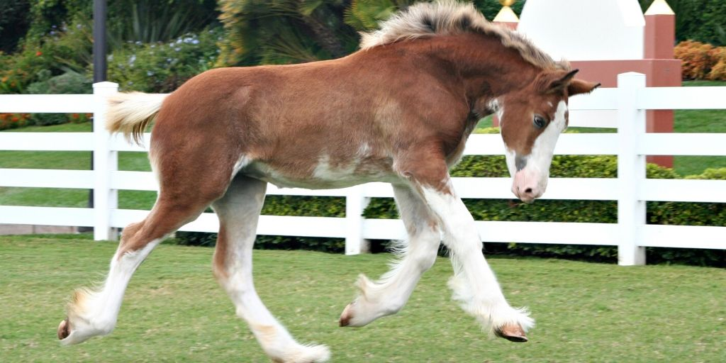 Spotted Draft Horse running in a field