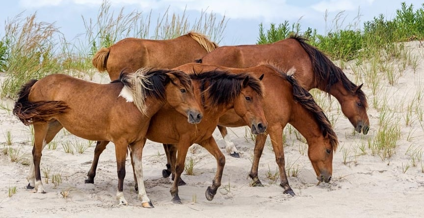 wild ponies and horses of Assateague Island