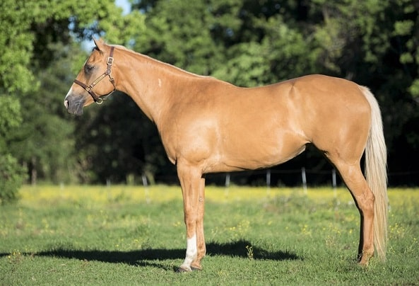 Expensive Palomino American Quarter Horse