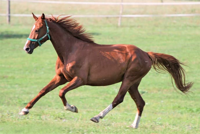 Anglo-arabian horse running in a field