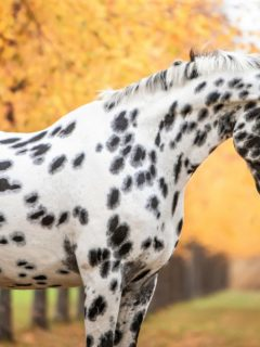 Black and white horse breed
