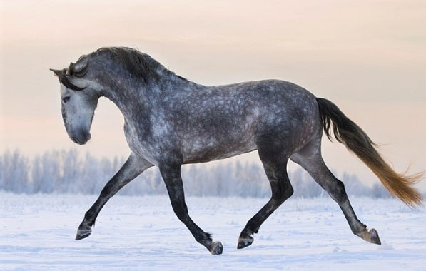 Dapple grey Andalusian horse running in snow